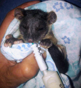 Baby ringtail possum wrapped in blanket and being hand fed with a syringe of formula